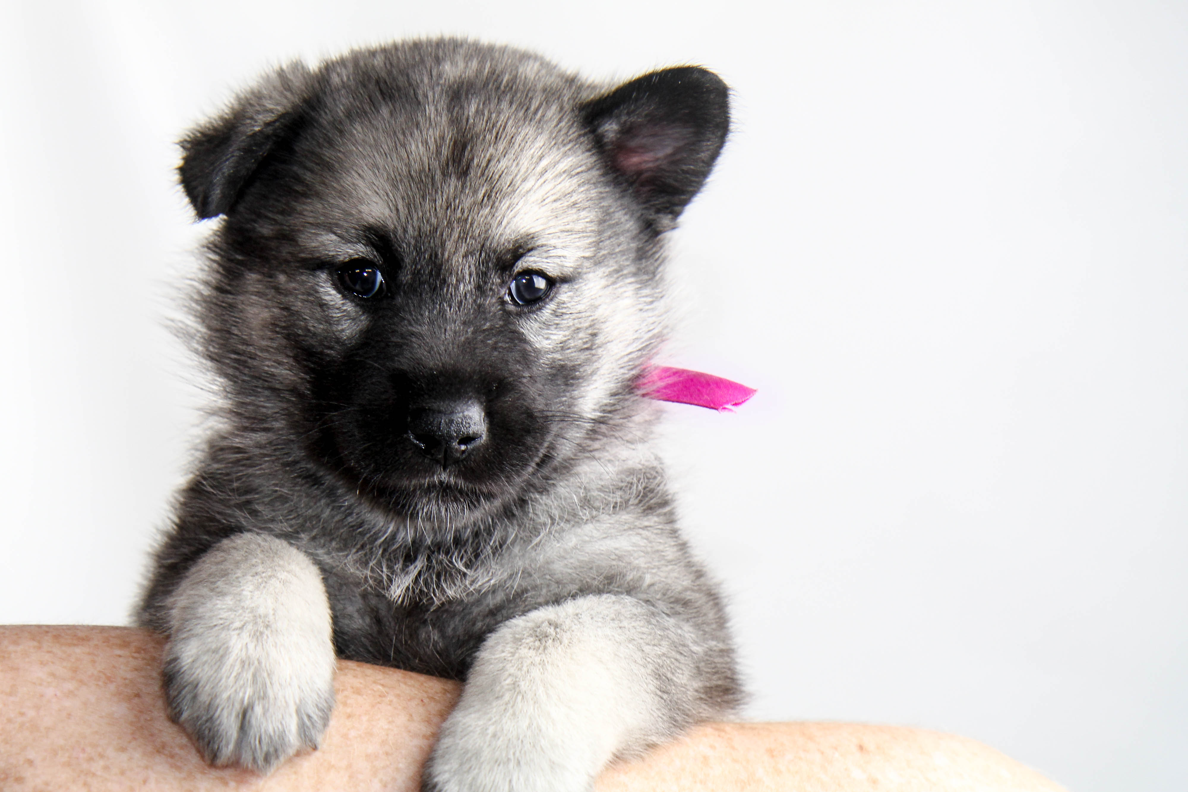 Find an Elkhound | Breeders | Rescues & Rehomes | Request Information
