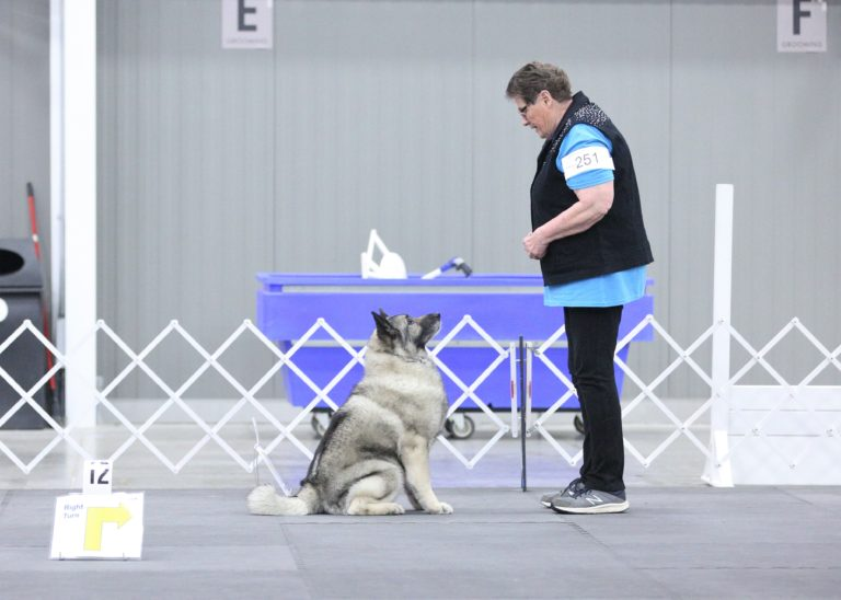 Norwegian Elkhound sit exercise